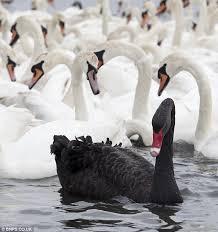last black swan
